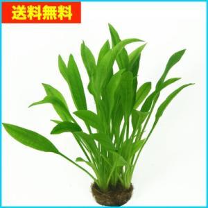 【送料無料・水草】 アマゾンソード 水上葉 (国産・無農薬) 10株|mame-store