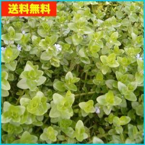 【送料無料・水草】 ウォーターバコパ 水上葉 (国産・無農薬) 5本|mame-store