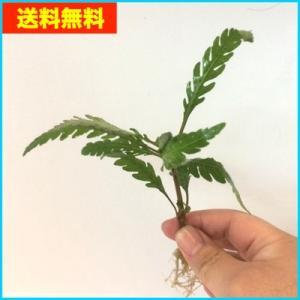 【送料無料・水草】無農薬 ハイグロフィラ・ピンナティフィダ 水上葉  3本|mame-store