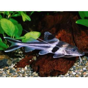 (熱帯魚・ナマズ)  スピンドルキャット 7cm± 1匹 |mame-store