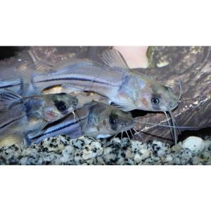 (熱帯魚・ナマズ)  ブラキラムディア・メエキ 3cm± 3匹 |mame-store
