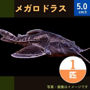 (熱帯魚・ナマズ) メガロドラス 8cm± 2匹 |mame-store