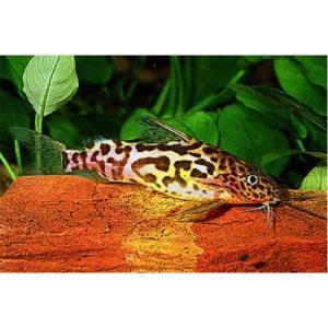 (熱帯魚・ナマズ)シノドンティス ショーテデニー 6cm± WILD 2匹|mame-store