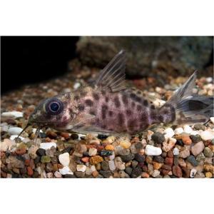 (熱帯魚・ナマズ) ブラキシノドンティス・バテンソーダ 5cm± 1匹|mame-store