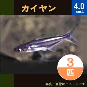 (熱帯魚・ナマズ) カイヤン 5cm± 1匹|mame-store