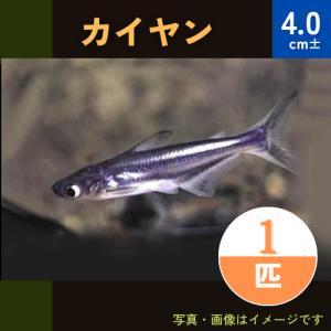 (熱帯魚・ナマズ) カイヤン 5cm± 5匹|mame-store