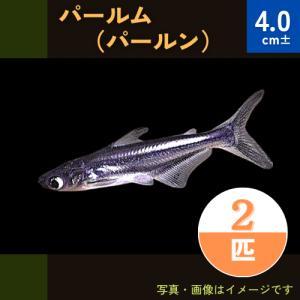 (熱帯魚・ナマズ) パールム 4cm± 3匹|mame-store