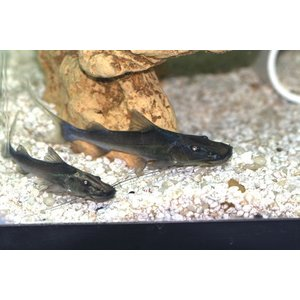 (熱帯魚・ナマズ) ドラドキャット 6cm± 1匹 |mame-store