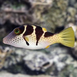 (海水魚・フグ)シマキンチャクフグ 5cm± 1匹 mame-store