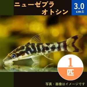 (熱帯魚・ナマズ) ニューゼブラオトシン 3cm± 1匹|mame-store