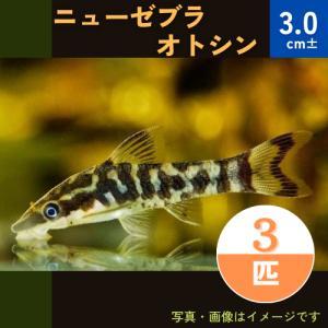 (熱帯魚・ナマズ) ニューゼブラオトシン 3cm± 3匹|mame-store