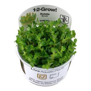 (Tropica・水草) ロタラSP ボンサイ 1・2・grow!(tropicaトロピカ) 3カップ|mame-store