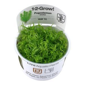 (Tropica・水草) ボゴステモン エレクタス 1・2・grow!(tropicaトロピカ) 2カップ|mame-store