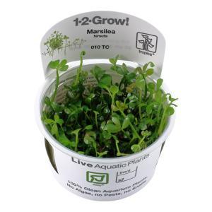 (Tropica・水草) ウォータークローバー 1・2・grow!(tropicaトロピカ) 1カップ|mame-store