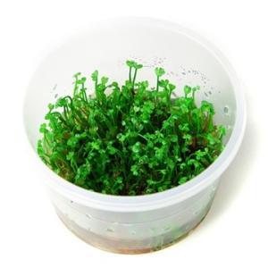 (Tropica・水草) ヨーロピアンークローバー 1・2・grow!(tropicaトロピカ) 2カップ|mame-store