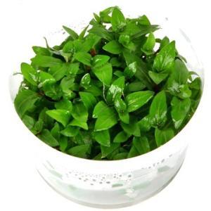 (Tropica・水草) ストロンギネ レベンス 1・2・grow!(tropicaトロピカ) 1カップ|mame-store