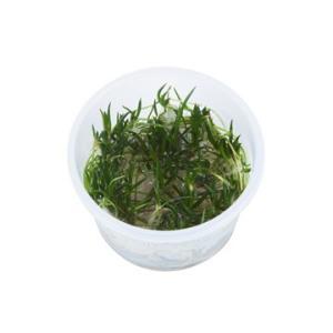 (Tropica・水草) リトレラ ウニフローラ 1・2・grow!(tropicaトロピカ) 1カップ|mame-store