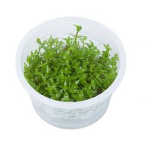 (Tropica・水草) グラティオラ ヴィスキデューラ 1・2・grow!(tropicaトロピカ) 1カップ|mame-store