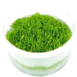 (Tropica・水草) ウォーターローン 1・2・grow!(tropicaトロピカ) 3カップ|mame-store