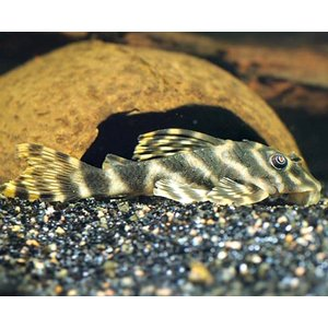 (熱帯魚・プレコ) タイガープレコ  3CM± 3匹 mame-store