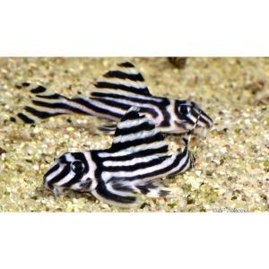 (熱帯魚・プレコ) インペリアル・ゼブラ・プレコ  3CM± 1匹