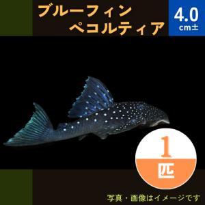 (熱帯魚・プレコ) ブルーフィンペッコルティア  4cm± 1匹|mame-store