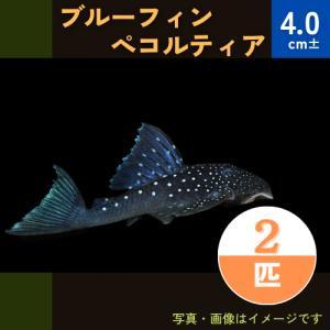 (熱帯魚・プレコ) ブルーフィンペッコルティア  4cm± 2匹|mame-store