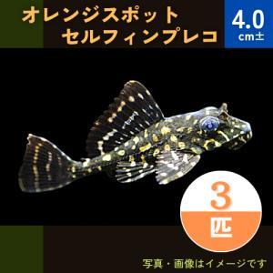 (熱帯魚・プレコ)オレンジスポットセルフィンプレコ 5cm± 7匹|mame-store
