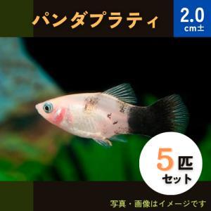 (熱帯魚・カダヤシ・メダカ)パンダプラティ 5匹|mame-store