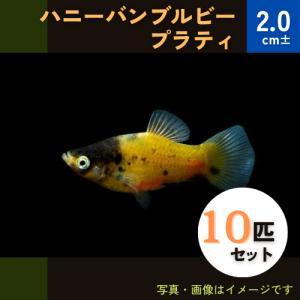 (熱帯魚・カダヤシ・メダカ)ハニーバンブルビープラティー 10匹|mame-store