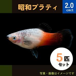 (熱帯魚・カダヤシ・メダカ)昭和プラティー 5匹|mame-store