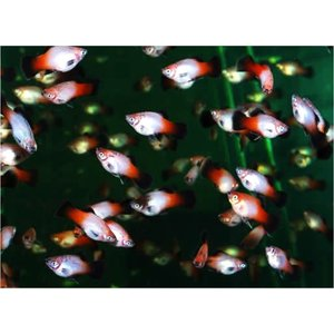 (熱帯魚・カダヤシ・メダカ)昭和プラティー 30匹|mame-store