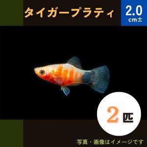 (熱帯魚・カダヤシ・メダカ)タイガープラティー 10匹|mame-store
