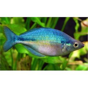 (熱帯魚・レインボーフィッシュ) ブルーレインボー MSサイズ 3匹|mame-store