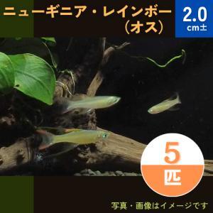 (熱帯魚・レインボーフィッシュ)ニューギニアレインボー オス  SMサイズ 3匹|mame-store