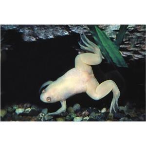 【両生類・イモリ・カエル】アルビノツメガエル 10匹 |mame-store