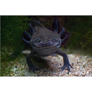 【両生類・イモリ・カエル】ブラックウーパールーパー 1匹 5−7cm|mame-store