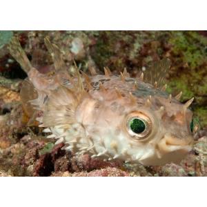 (海水魚・フグ)メイタイシガキフグ 13cm± 1匹 mame-store