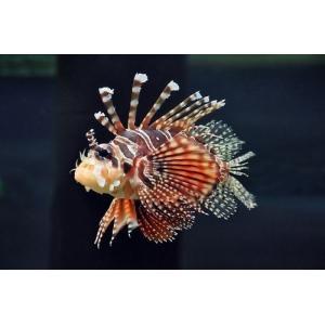 (海水魚・カサゴ)キリンミノカサゴ 7cm± 3匹 mame-store