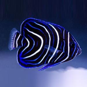 (海水魚・スズメダイ) サザナミヤッコ(幼魚)  5cm± 2匹|mame-store