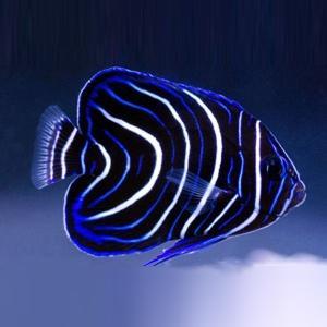 (海水魚・スズメダイ) サザナミヤッコ(幼魚)  5cm± 3匹|mame-store
