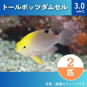 (海水魚・スズメダイ) トールボッツダムセル  SMサイズ 6匹|mame-store