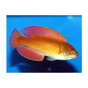(海水魚・ベラ・ブダイ)エイトラインフラッシャーラス オス (紅海産) 7cm± 1匹|mame-store