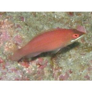 (海水魚・ベラ・ブダイ)ヒメニセモチノウオ SMサイズ 2匹|mame-store