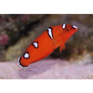 (海水魚・ベラ・ブダイ)ツユベラ 幼魚 SMサイズ 1匹|mame-store