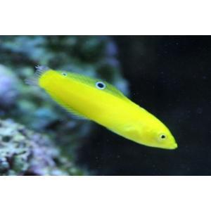 (海水魚・ベラ・ブダイ)コガネキュウセン(イエローコリス) SMサイズ 1匹|mame-store