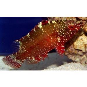 (海水魚・ベラ・ブダイ)ミツボシモチノウオ レッド 7cm± 1匹|mame-store