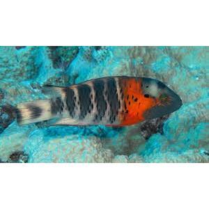 (海水魚・ベラ・ブダイ)ヤシャベラ 6cm± 1匹|mame-store