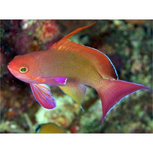 (海水魚・ハナダイ・ハタ・メギス) キンギョハナダイ 7cm± 2匹|mame-store