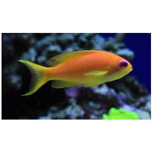 (海水魚・ハナダイ・ハタ・メギス) インドキンギョハナダイ メス 6cm± 2匹|mame-store